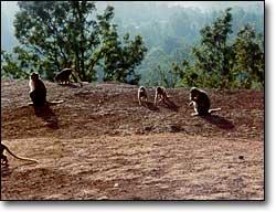 Monkeys hanging out. Mahableshwar, India.